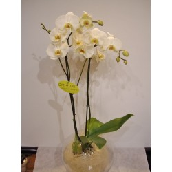 Orquidea phalaenopsis blanca en bola de cristal