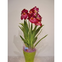 Orquidea miltonia en cristal de color