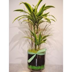 Planta dracena deremensis variegata