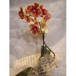 Orquidea Phalaenopsis de 2 colores