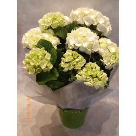 Planta de hortensia