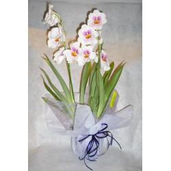 Orquidea Miltonia