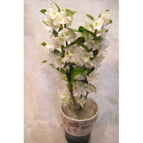 Orquidea Dendrobium con ceramica