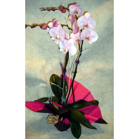 Orquidea Phalenopsis Malva.