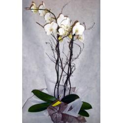 Orquidea phalenopsis blanca.