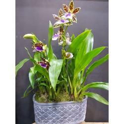 Centro con orquideas zygopetalum.